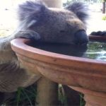 Koalas Are Dying Of Thirst, So This Farmer Developed An Ingenious Solution To Help Them