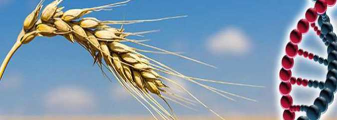 "GMO ""Super Wheat"" to be Grown in the UK Despite Fears"