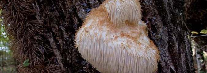 You Should Be Eating THIS Mushroom: 9 Amazing Benefits of the Lion's Mane Mushroom