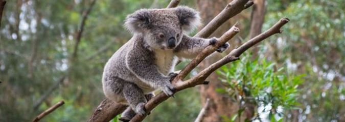 World Wildlife Fund Warns Australia That Deforestation Would Lead To The Extinction of Koalas By 2050