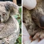 First Baby Koala Born In Australian Wildlife Park Since Devastating Bushfires