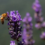 Bees Are Thriving As Pollution Plummets and Environmental Conditions Improve