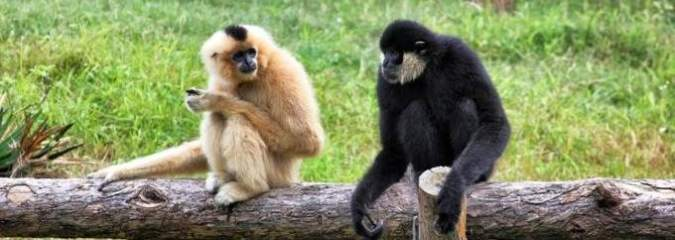 World's Rarest Primate, the Critically Endangered Hainan Gibbon, Returns From Brink of Extinction