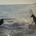 Puppy Love: Incredible Video Shows Dog and Dolphin Playing Together at the Beach