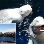 2 Beluga Whales Delighted by New Ocean Sanctuary Home After Years of Captivity in Chinese Zoo