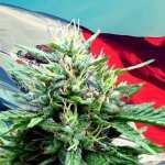 Mexico Senate Votes in Landslide to Legalize World's Largest Cannabis Market
