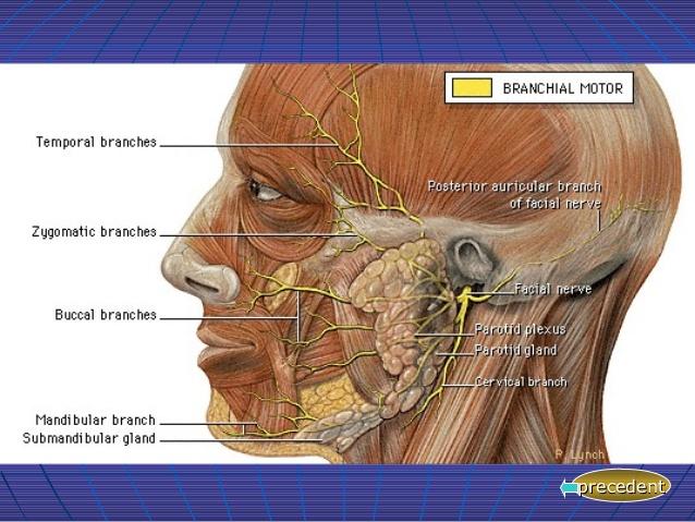 nerf facial (slideshare).