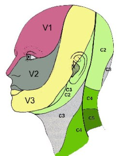 Innervation sensitive de la tête et du cou. (gremmo.net)