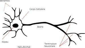 Neurone (wikipedia)