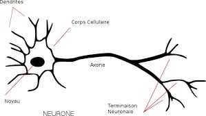 Neurone (wikipedia)