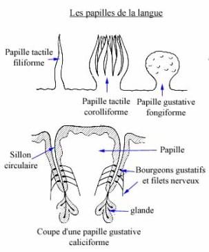 Papilles liguales (tpe-aromes-vanille.e-monsite.com)