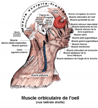 Muscle orbiculaire (ledecodeur.com).