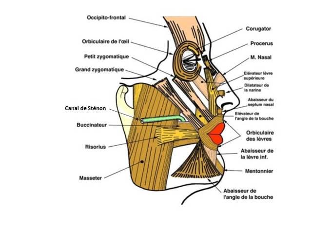Muscles des lèvres (anat-jg.com)