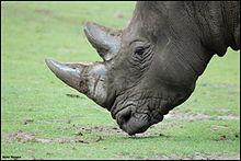 Les cornes des rhinocéros, comme leur peau, sont en grande partie constituées de kératine.