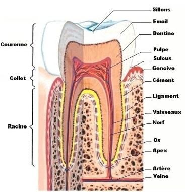 Comme on le voit sur cette coupe d'une molaire inférieure, la pulpe est le coeur de la dent et contient essentiellement les nerfs et les vaisseaux.