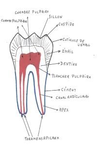 Anatomie détaillée de la pulpe d'une molaire inférieure.