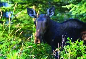 Moose-Cornelius-Iwan-300x209