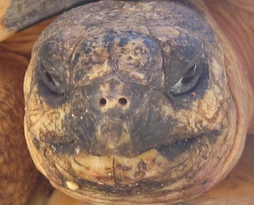 Picture of a the face of a Ploughshare Tortoise