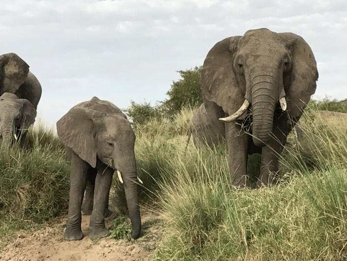 Picture of two African elephants in a field