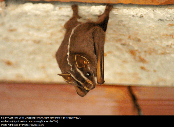 Bat hanging upside down with wings folded in