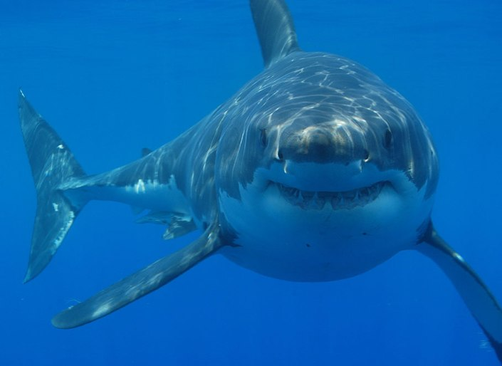 Front view of great white shark in water