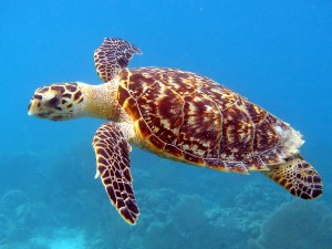Hawksbill sea turtle side view in ocean