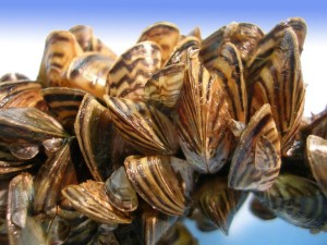 cluster of aproximately 20 small zebra mussels