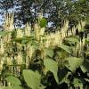 Featured image-Japanese knotweed
