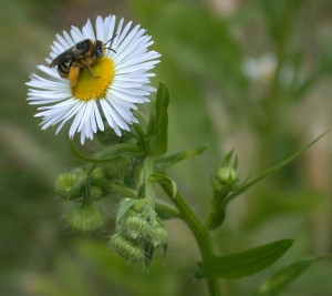 Native <span style='background-color: #ffff8e'>pollinator</span> on fleabane.