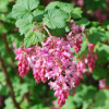 red_flowering_currant