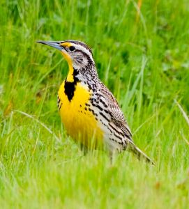 The Western Meadowlark is an Oregon white oak associated bird (and our state bird!).