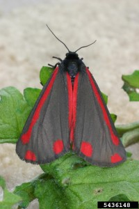 Cinnabar Moth is a bio control for tansy, but provides minimal control. (Photo: Eric Coombs, ODA)