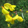 Source: http://en.wikipedia.org/wiki/File:Cytisus_scoparius1.jpg