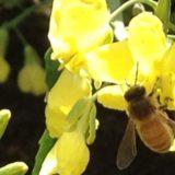 800x400 bee on mustard