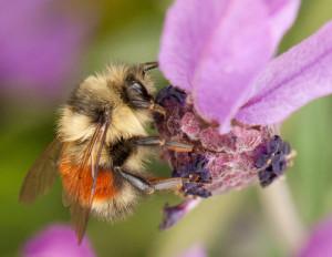 Bumble bee (by Jason Faucera)