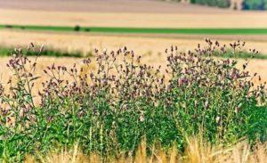 Canada thistle reduces pasture forage.
