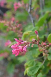Red-flowering currant is an oak associated native plant.