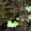 Ivy_seedlings-400px