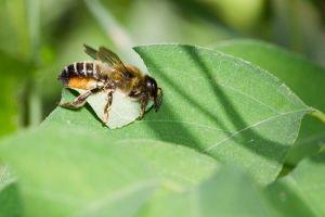 Leafcutter Bee (Photo: Bernhard Plank)