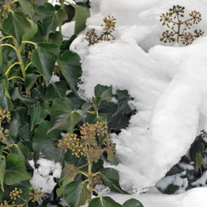 Mature ivy is cold hardy and continues to grow in the winter.