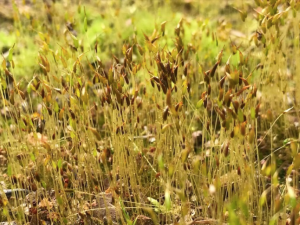 Moss reproduces by spreading spores. Photo by Cathy Burk