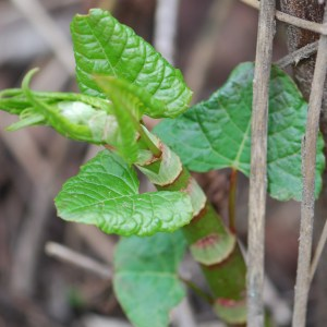 Stems and leaves emerge in the spring.