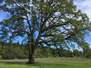 Even one oak provides shade and habitat for livestock and over 200 species of wildlife.