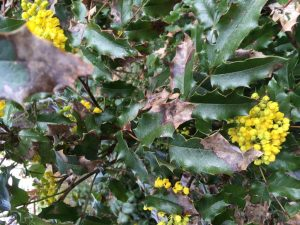 Oregon Grape is both a native plant and the Oregon state flower!