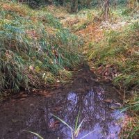 Reed Canary Grass Infestation In Corral Creek Riparian Area