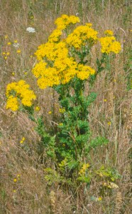 Tansy ragwort grows tall and flowers in the second year.
