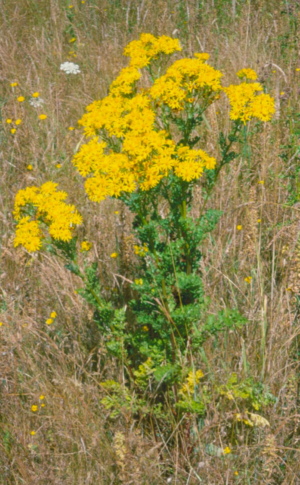 July invasive weed of the month tansy ragwort clackamas swcd tansy ragwort grows tall and flowers in the second year mightylinksfo