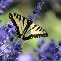 Swallowtail butterfly larvae (Photo: Ryan Haggerty)