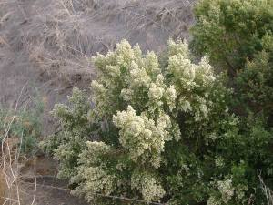 Coyote bush is hardy, drought tolerant, and blooms in the winter.