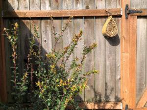 A mason bee box hangs above an evergreen huckleberry.